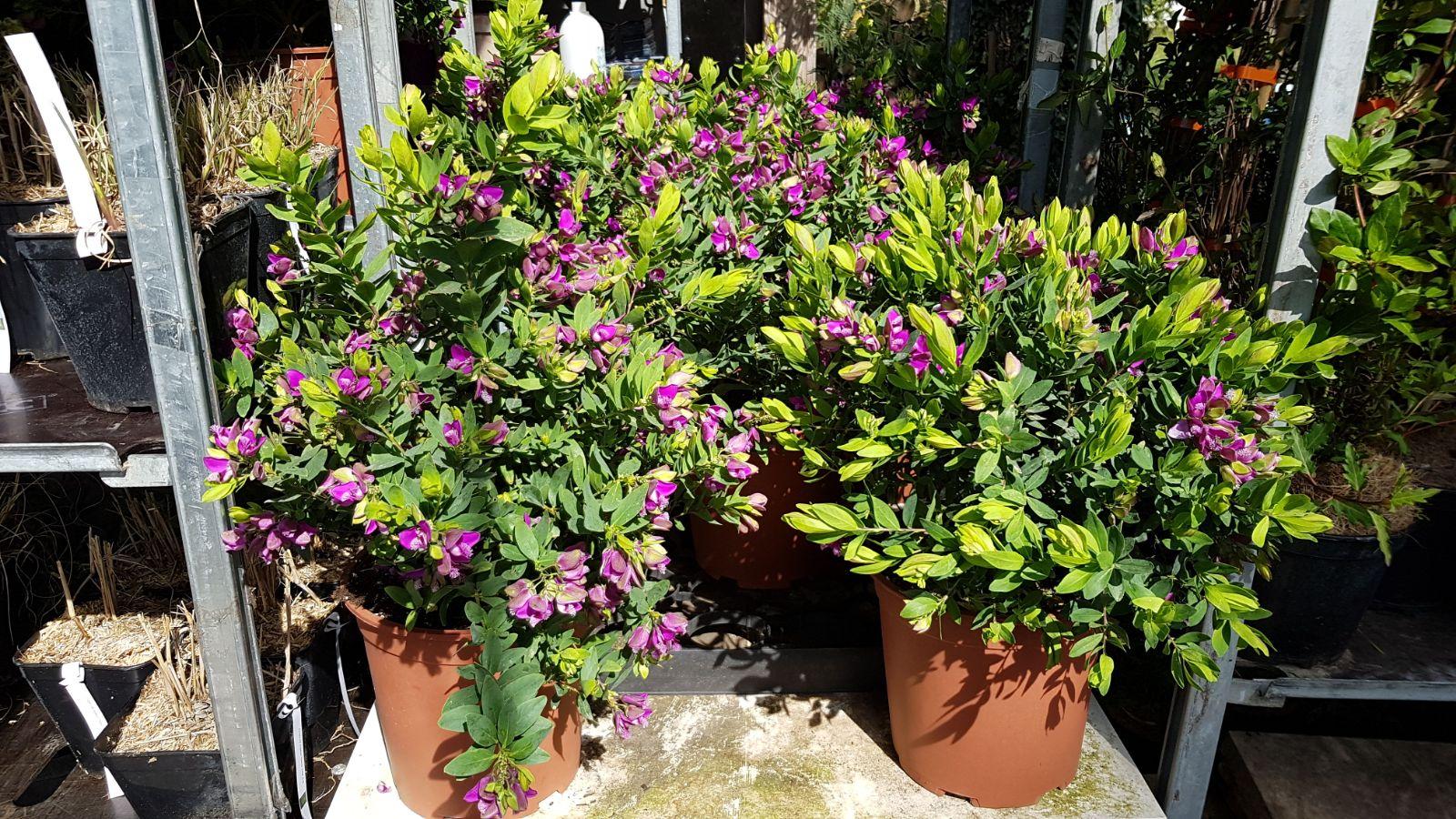 Arbuste Persistant Pour Pot bax destockage vegetal et horticole toulouse 31790 - 06.49